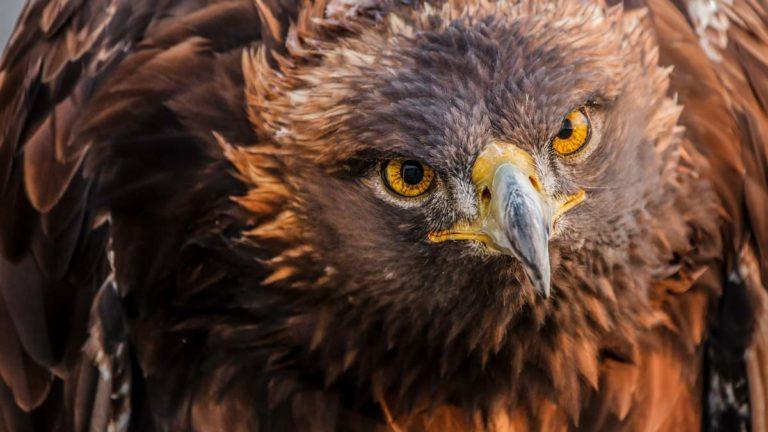 Primer plano del águila real. © FAC