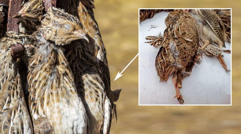 Cinco codornices muy raras cazadas en el inicio de la media veda