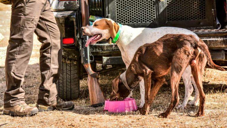 Dos perros de caza durante una jornada de media veda.