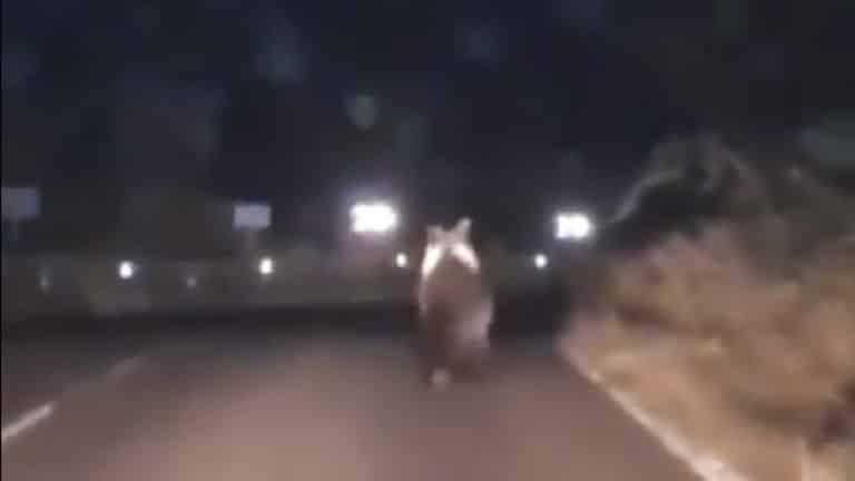 oso carretera