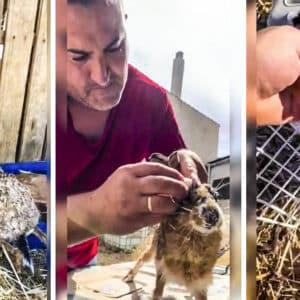 Un cazador crea este 'manual'para curar a una liebre afectada por mixomatosis