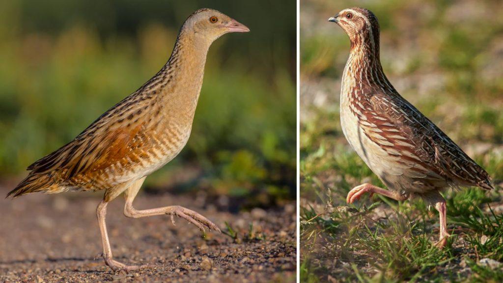 Guion de codornices y codorniz común. La primera no se puede cazar, la segunda sí. © Shutterstock