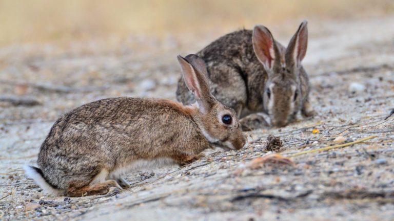 Dos conejos de monte. © JDG