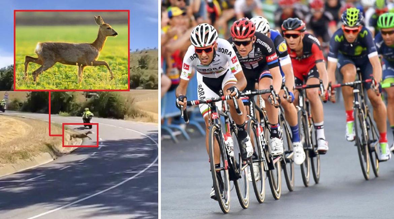 Un corzo se cuela en la Vuelta a Burgos y sufre un accidente