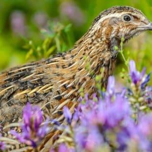 SEO/BirdLife pide prohibir la caza de la codorniz contra el criterio de los expertos (y sin datos)
