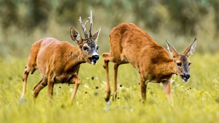 Un corzo y una corza durante la época de celo. © Shutterstock