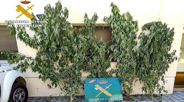 Detienen a un furtivo por colocar 11 lazos y encuentran una plantación de marihuana en su huerto