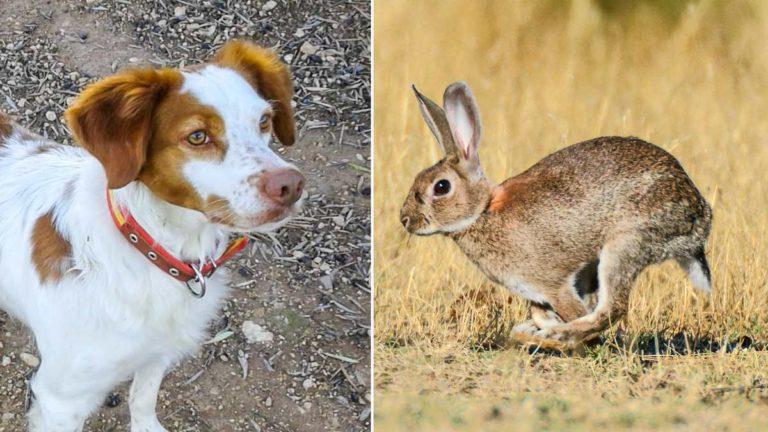 El epagneul bretón protagonista y un conejo. ©JyS