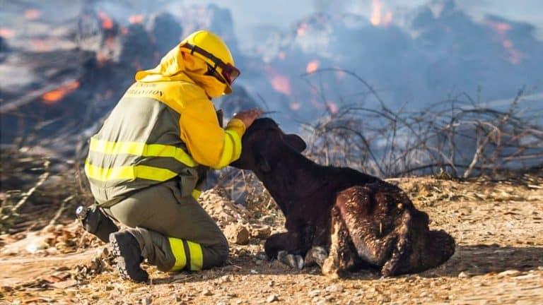 Un ganadero con un becerro que ha sobrevivido al incendio.