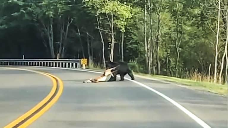 oso tira de una cierva en la carretera