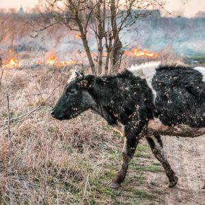 La ayuda a los animales afectados por el incendio la coordina la Diputación de Ávila, no los animalistas