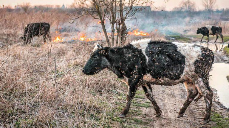 Varias vacas caminan entre la llamas en una imagen de archivo.
