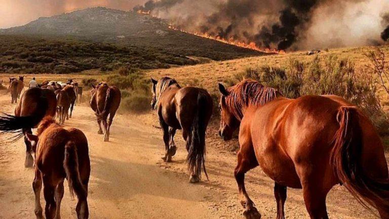 Varios caballos buscan refugio en el incendio de Ávila. ©Elena Casillas