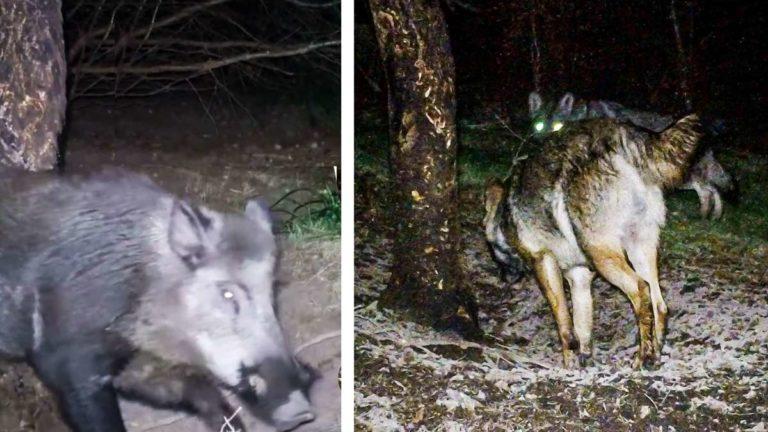 Un jabalí rascándose y los lobos registrando el lugar. © Senén Ramos