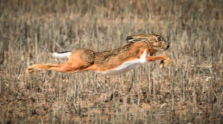 Conejo y liebre: Fedexcaza financia un estudio para ver cómo le afectan los fitosanitarios agrícolas