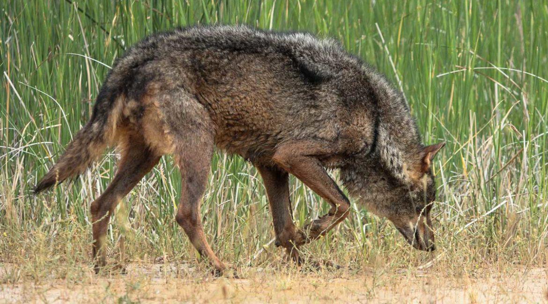 Graban a una loba ibérica seguida por seis lobeznos