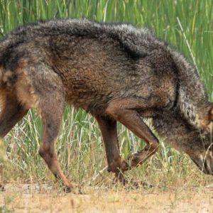 Matar un lobo puede costar desde hoy una multa de hasta dos millones de euros o dos años de prisión