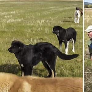 Este pastor tiene 55 mastines para cuidar de 2.000 ovejas