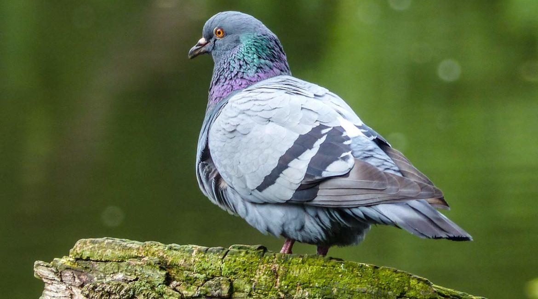 La paloma bravía sí se puede cazar esta media veda en Castilla-La Mancha