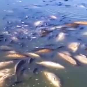 Aparecen cientos de peces muertos en un embalse de Ciudad Real