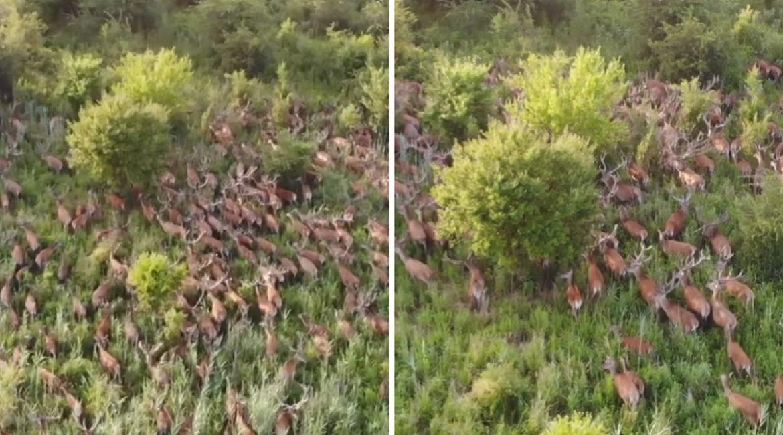 Un dron graba una pelota de más de 100 ciervos desde el aire