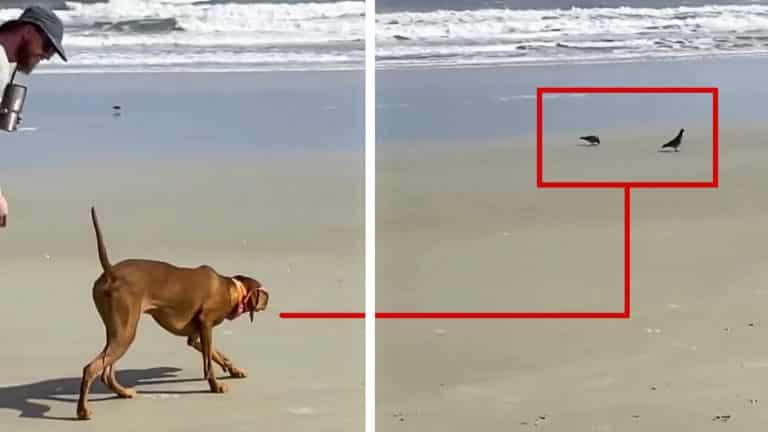 perro de caza en la playa