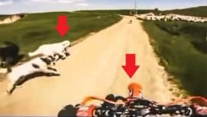 Un motorista se acerca a un rebaño de ovejas y los perros lo tratan como si fuera un lobo