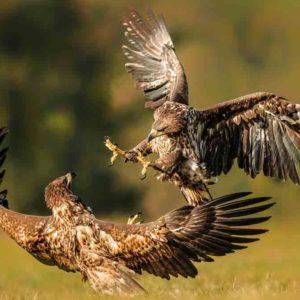 GREFA y el MITECO soltarán ejemplares de un águila extinta en España desde el siglo XIX: el pigargo europeo