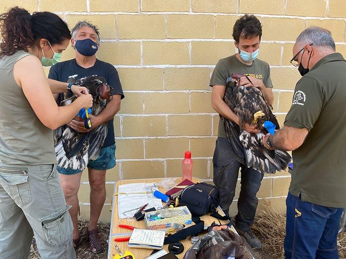 El equipo de GREFA durante el radiomarcado de los pigardos.