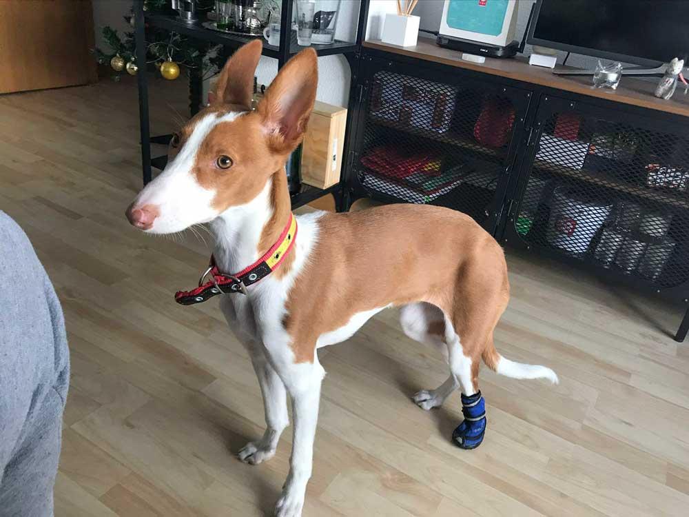 La podenca kiara con la protesis casera que le ha hecho su dueño.