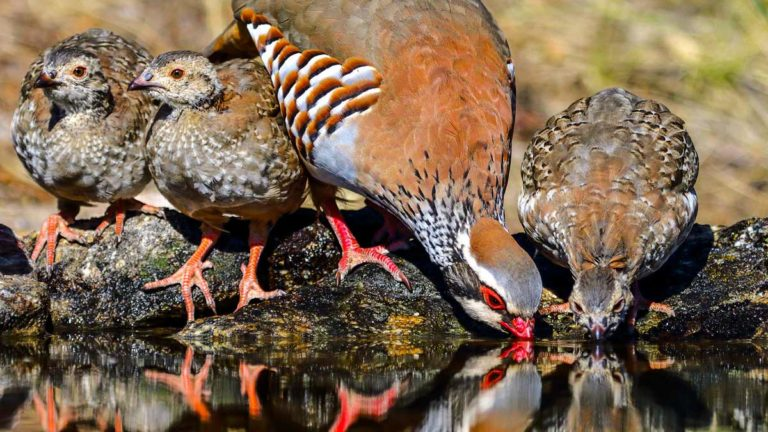 Una perdiz y sus pollos beben agua. © Shutterstock
