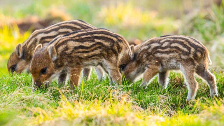 Crías de jabalí. © Shutterstock