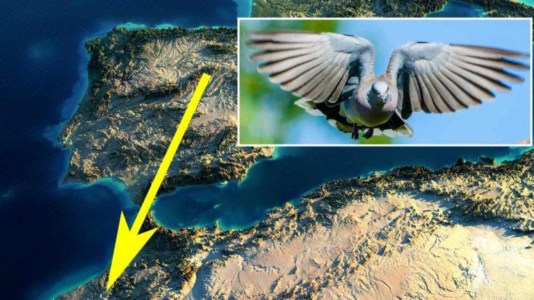 Tortola europea (Streptopelia turtur). ©Shutterstock