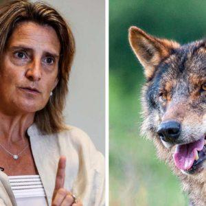 Varapalo del Consejo de Estado al MITECO: exige «mayor rigor y base científica» para prohibir la caza del lobo