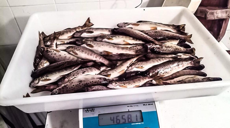 Lo pillan con 71 truchas de talla ilegal, con una red de pesca prohibida y se da a la fuga: se enfrenta a seis infracciones