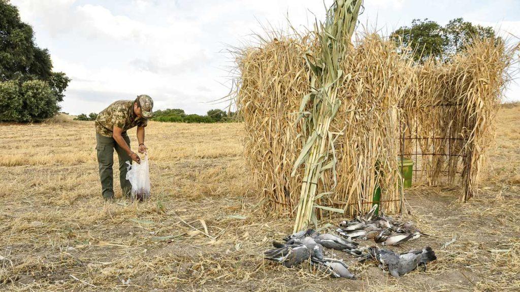 Puesto de caza de paloma torcaz en media veda camuflado con elementos del terreno. © Edu Pompa