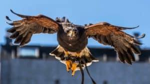Un águila lleva volando los anillos de matrimonio en una boda, la bonita idea creada por un cazador