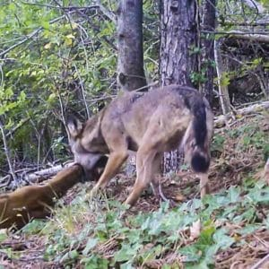 Así caza un lobo a un corzo