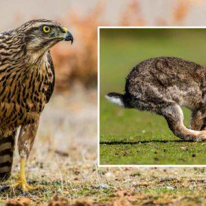 Un azor intenta dar caza a un conejo en un lance de cetrería grabado a cámara lenta