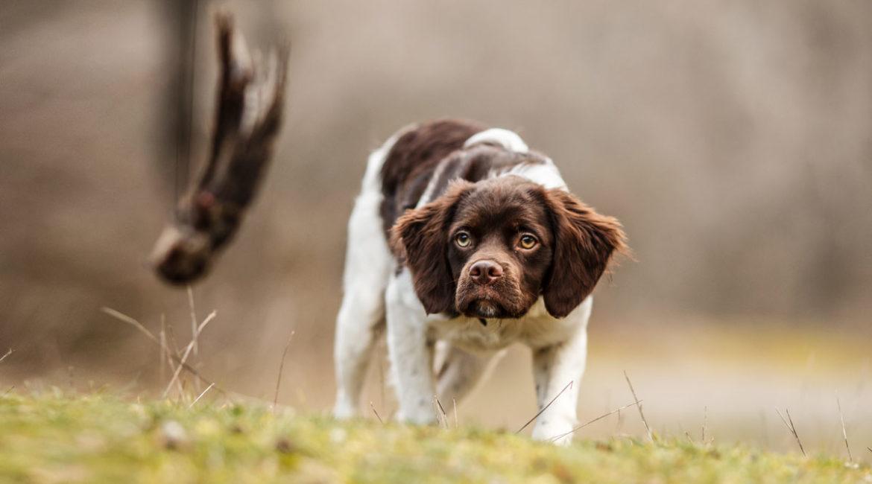¿Para qué sirve la técnica de la caña en el adiestramiento del perro de caza?