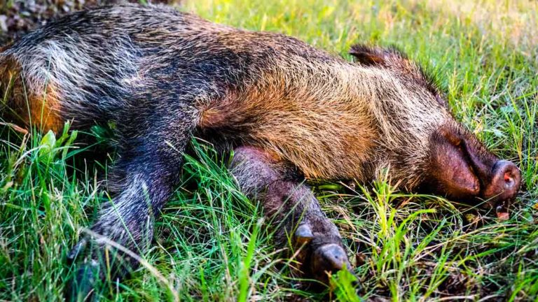 Jabalí muerto. © Shutterstock