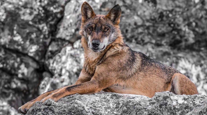 La caza del lobo ibérico queda prohibida en España