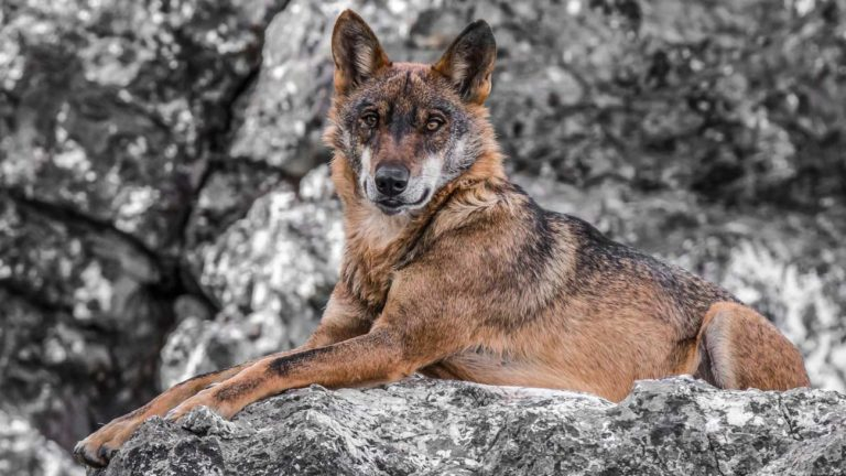 Lobo. © Shutterstock