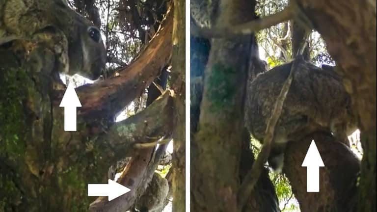 cazador graba conejos subidos a un árbol