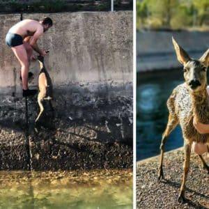 Un cazador se queda en paños menores para entrar en un canal y salvar la vida a una corza
