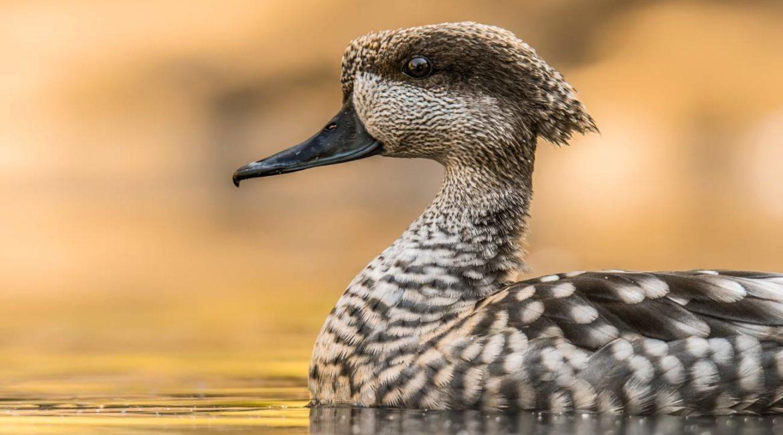 El Gobierno da otros 728.945 euros a SEO/BirdLife, esta vez para 'salvar' a la cerceta pardilla