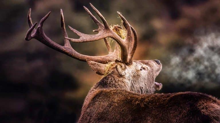 Ciervo en berrea. ©Shutterstock