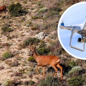 Así se localizan corzos con un dron