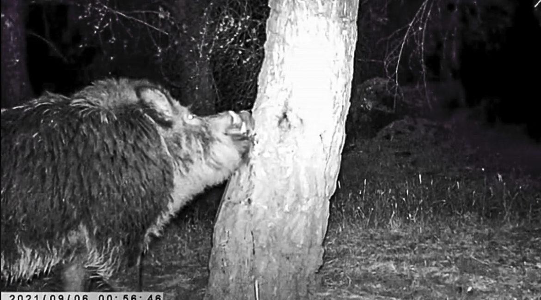 Un gran jabalí se rasca contra un árbol… ¿Por qué lo hace?