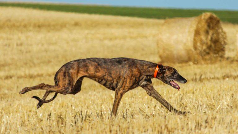 Un galgo corre por un rastrojo en pleno verano. © Shutterstock